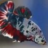 ปลากัดแฟนซีลายจุดเกรดพ่อพันธุ์ ปลากัดคัดเกรดครีบสั้น - Halfmoon Plakad Fancy Dragon Premium Quality Grade