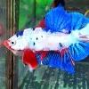 ปลากัดแฟนซีมาเบิ้ล ปลากัดคัดเกรดครีบสั้น - Halfmoon Plakad Fancy Marble Premium Quality Grade