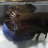 ปลากัดคัดเกรดครีบสั้น - Halfmoon Plakad Super Black Quality Grade