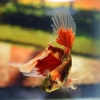 ปลากัดคัดเกรดครีบยาว - Halfmoon Fancy Red Marble Premium Quality Grade AAA+