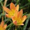 บัวดินzephyranthes Bright Eyes