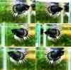 (ขายแล้วครับ)ปลากัดครีบยาวหางมงกุฎ-Super Crowntails