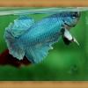 ปลากัดครีบสั้น - Halfmoon Plakats Green