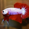 ปลากัดคัดเกรดครีบสั้น - Halfmoon Plakad Fancy Red Marble Premium Quality Grade AAA+