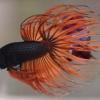 สีดำส้ม ปลากัดคัดเกรดหางมงกุฎ - CrownTails Black Orange Premium Quality Grade