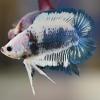 มาเบิ้ลหางคู่ ปลากัดคัดเกรดครีบสั้นสองหาง - Double Tails Fancy Blue Marble Premium Quality Grade