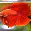 ปลากัดคัดเกรดครีบยาว - Halfmoon Super Red Quality Grade