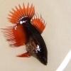 ปลากัดคัดเกรดครีบยาวหางมงกุฎเพศเมีย - Female CrownTails Fancy Premium Quality Grade AAA+