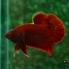ปลากัดคัดเกรดครีบสั้น - Halfmoon Plakad Super Red Quality Grade