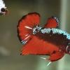 สีดำซามูไร ปลากัดคัดเกรดครีบสั้น - Halfmoon Plakad Fancy Samurai Orange Premium Quality Grade