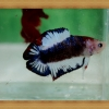 (ขายแล้วครับ)ปลากัดครีบสั้นหางคู่ - Fancy Halfmoon Plakats Double Tails