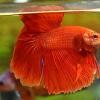 ปลากัดคัดเกรดครีบยาว - Halfmoon Super Red Premium Quality Grade AAA+