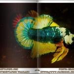 อัลบั้มรูปปลากัดสวย น่าสะสม