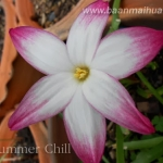 zephyranthes sp. labuffarosa summer chill