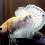 ปลาใหญ่ขนาดเกือบ 1.8-1.9 นิ้ว ปลากัดคัดเกรดครีบ - Halfmoon Plakad Fancy White Dragon Premium Quality Grade