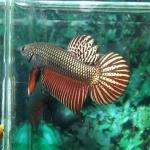 ปลากัดป่า ทองแดง