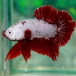 (ขายแล้วครับ)ปลากัดครีบสั้น - Halfmoon Plakats RED DRAGON2