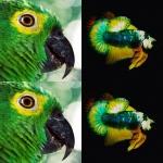 Macaw เจอกับ BettaFish นกอยู่บนฟ้า - ปลาอยู่ในน้ำ ความสวยของธรรมชาติ