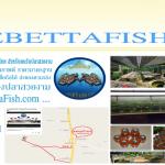 บรรยากาศฟาร์มปลากัด Lovebettafish Thailand