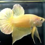 ปลากัดคัดเกรดครีบสั้น - Halfmoon Plakad Super Gold Premium Quality Grade