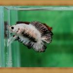 ปลากัดครีบสั้นหางคู่ - Fancy Halfmoon Plakats
