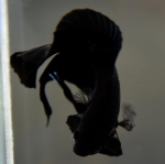 """""""เกรดประกวด""""ปลากัดคัดเกรดครีบสั้นหางคู่ - Double Tails Halfmoon Plakad Super Black Premium Quality Grade"""