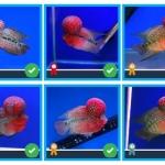 ภาพปลาหมอสี ที่ได้รับรางวัลงานประมงน้อมเกล้าครั้งที่ 19
