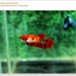 คัดเกรดปลากัดครีบสั้นตัวเมีย-Female Halfmoon Plakat Fancy Koi Qaulity Grade