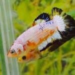 คัดเกรดปลากัดครีบสั้นเพศเมีย- Female Halfmoon Plakat Fancy Marble Quality Grade