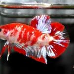 ปลากัดคัดเกรดครีบสั้น - Halfmoon Plakad Fancy Koi Quality Grade