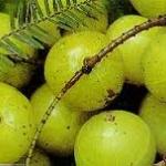 สารสกัดที่ได้จากมะขามป้อม มีดีกว่าวิตามินซีสูง