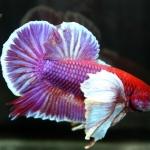 ปลากัดคัดเกรดครีบสั้นหูช้าง - Halfmoon Plakad Big Ear Lavender Premium Quality Grade