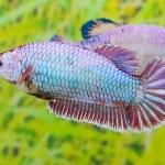 คัดเกรดปลากัดครีบสั้นเพศเมีย- Female Halfmoon Plakat Fancy Lavender Quality Grade
