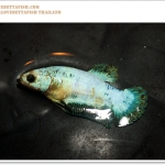 คัดเกรดปลากัดครีบสั้นเพศเมีย-Female Halfmoon Plakat Marble Quality Grade