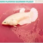 """(ขายแล้วครับ)ปล่อยตัวเมียเกรดแม่พันธุ์""""คัดเกรด""""ปลากัดครีบสั้นตัวเมีย-Female Halfmoon Plakats White Platinum"""