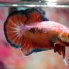 ปลากัดคัดเกรดครีบสั้น - Halfmoon Plakad Over Tails Orange Tails BlueGreen Premium Quality Grade AAA+