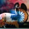ปลากัดคัดเกรดครีบสั้น - Halfmoon Plakad Over Tails Orange Blue White Premium Quality Grade AAA+