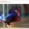 คัดเกรดปลากัดครีบสั้น-Halfmoon Plakat Fancy Red Blue Dragon