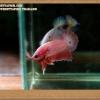 คัดเกรดปลากัดครีบสั้น- Halfmoon Plakat Fancy Pink Dragon