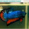 """(ขายแล้วครับ)""""คัดเกรด""""ปลากัดครีบสั้น-Halfmoon Plakats Blue Orange Dragon"""