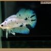 คัดเกรดปลากัดครีบสั้น- Halfmoon Plakat Fancy Marble Dot Blue