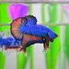 คัดเกรดปลากัดครีบสั้น-Halfmoon Plakat Fancy Blue Orange