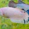 คัดเกรดปลากัดครีบสั้นเพศเมีย- Female Halfmoon Plakat Fancy MarbleQuality Grade
