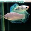 """""""คัดเกรด""""ปลากัดครีบสั้นตัวเมีย-Female Halfmoon Plakats White Dragon A++"""