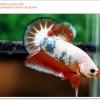 คัดเกรดปลากัดครีบสั้น-Halfmoon Plakat Fancy Orange Marble Dragon