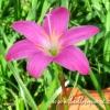 บัวดินพันธุ์ FadJar Pink(10หัว)