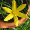 ขายบัวดินพันธุ์flavissima