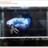 พิเศษ คัดเกรดปลากัดครีบสั้น-Halfmoon Plakat BLue Marble Quality Grade