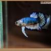ปลากัดครีบสั้นหางพระจันทร์ครึ่งดวง - Halfmoon Plakat Fancy Dragon Full Colors