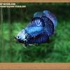 คัดเกรดปลากัดครีบสั้น- Halfmoon Plakat Fancy Blue Dragon